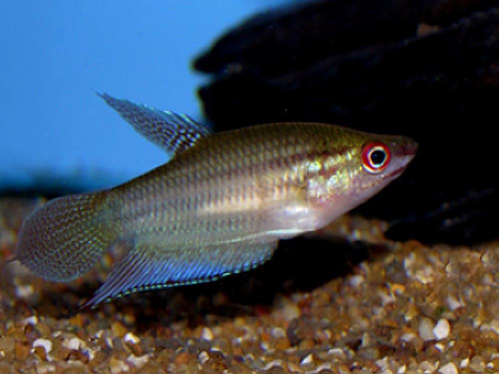 ماهی گورامی صدا ساز
