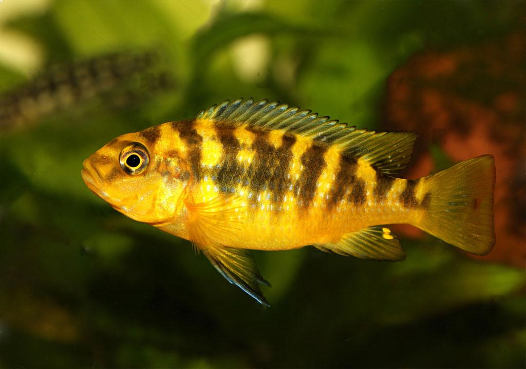 ماهی سیچلاید زنبوری