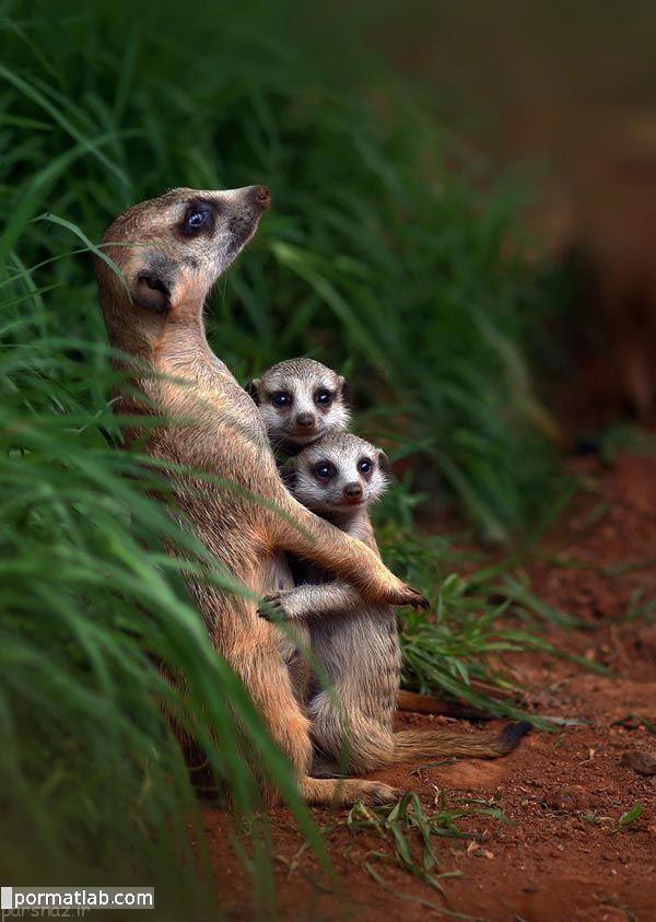 عکس های جالب و زیبا از نقش خانواده در حیوانات