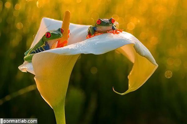 تصاویر جالب از قورباغه ها