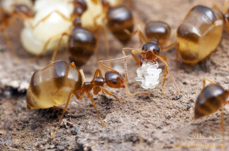 "Honeypot Ant""مورچه عسل ساز"
