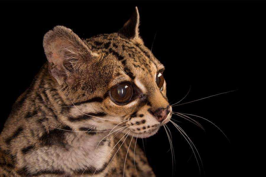 گربه وحشی مارگای