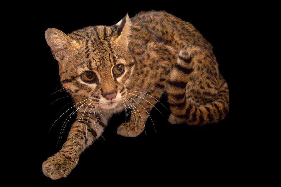 گربه جفروی
