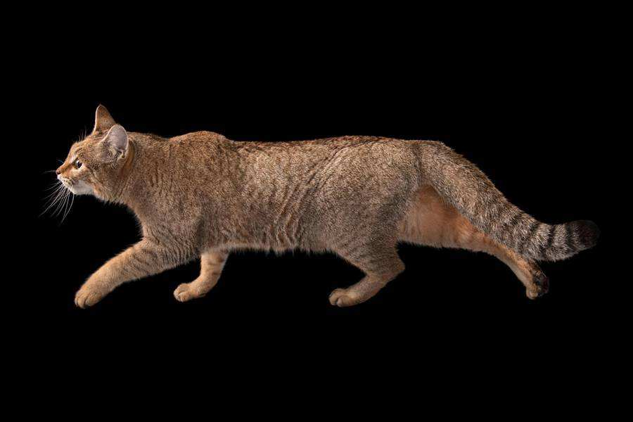 گربه وحشی آفریقایی