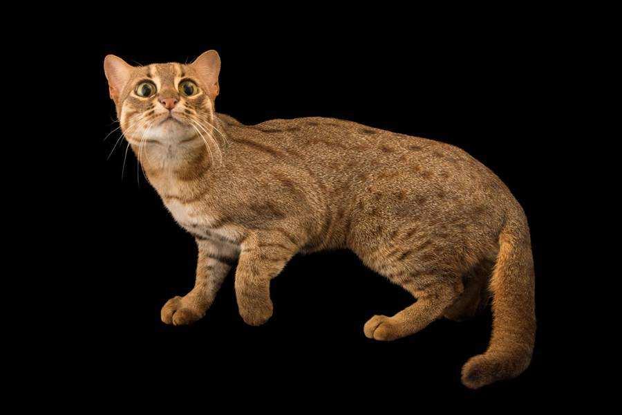 گربه ی خال زنگاری