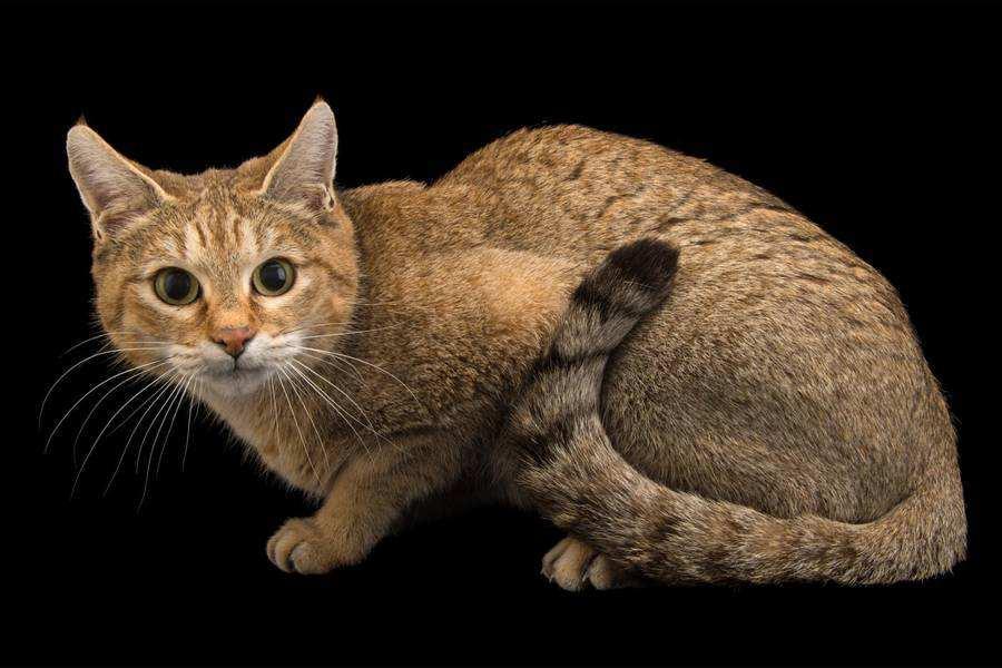 گربه وحشی آسیایی