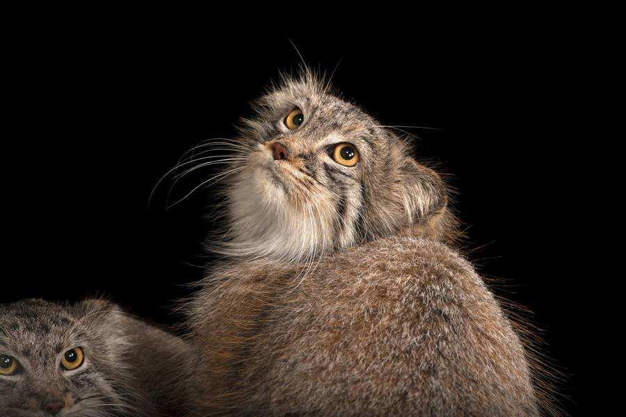گربه وحشی پالاس