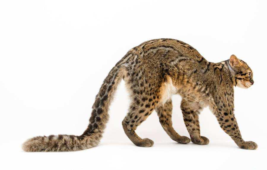 گربه مرمری