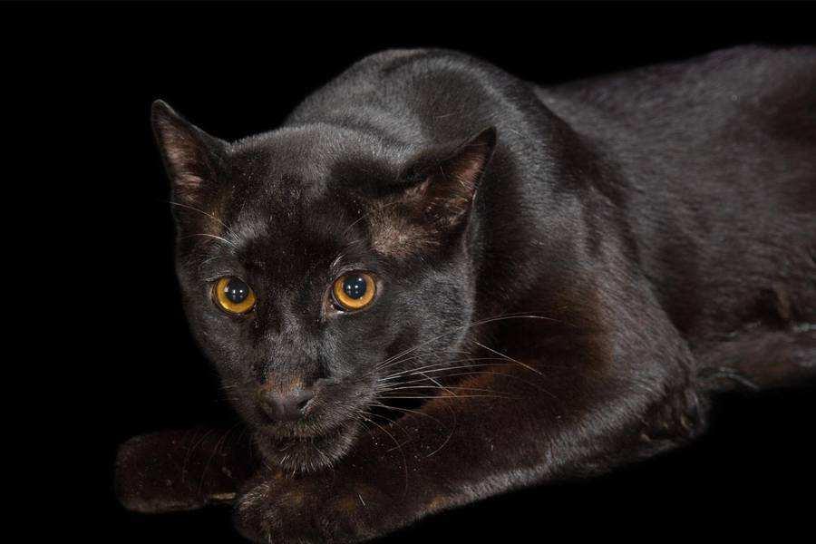 گربه سیاه طلایی آسیایی